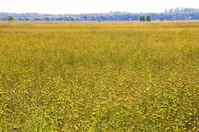 Thảm hoa vàng khổng lồ ở Vườn quốc gia Tràm Chim - 4