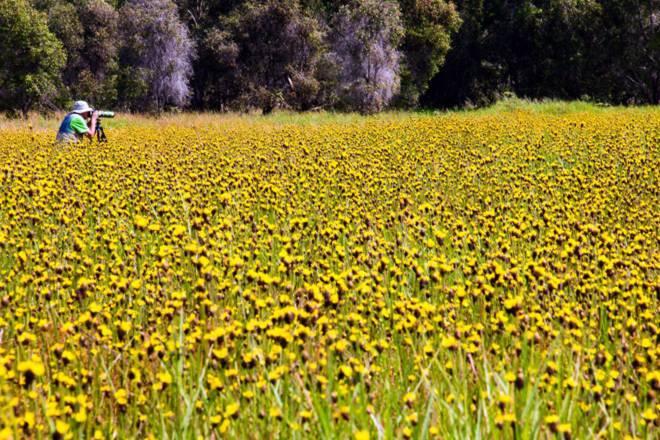 Thảm hoa vàng khổng lồ ở Vườn quốc gia Tràm Chim - 6