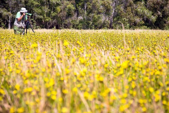 Thảm hoa vàng khổng lồ ở Vườn quốc gia Tràm Chim - 7