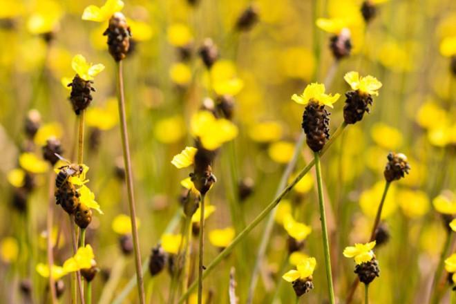 Thảm hoa vàng khổng lồ ở Vườn quốc gia Tràm Chim - 8