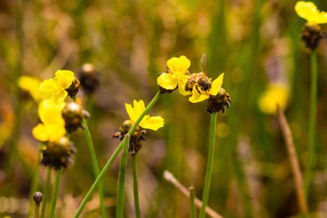 Thảm hoa vàng khổng lồ ở Vườn quốc gia Tràm Chim - 9