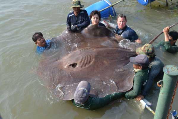 Bắt được cá đuối lớn nhất thế giới
