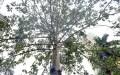Từ một cây trơ trụi lá, cây mới được trồng bỗng nhiên cành lá xum xuê. (Ảnh: TCCL)