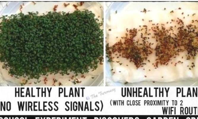 Cây trồng bị chết chỉ trong vòng hai tuần, thủ phạm lại chính là Wi-Fi (Ảnh chụp)