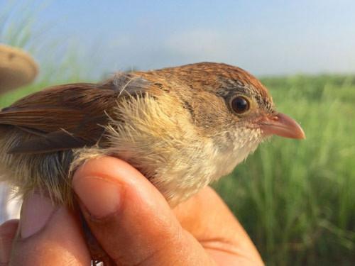 Chim tuyệt chủng hơn 7 thập kỷ tái xuất