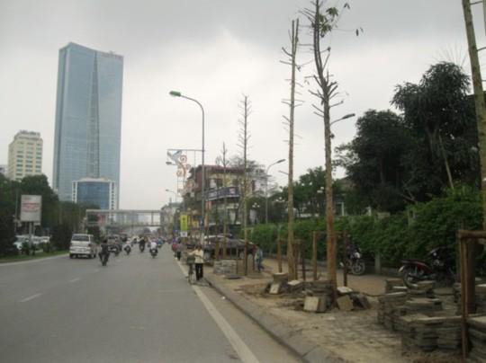 Thay vào những hàng cây xanh xum xuê lá trước kia là hàng cây mới trồng cao chừng 6 - 7 m, trụi lá