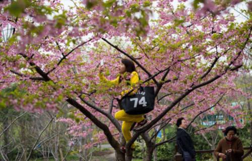 Đắm chìm trong sắc hoa anh đào nở rộ khắp châu Á - 5