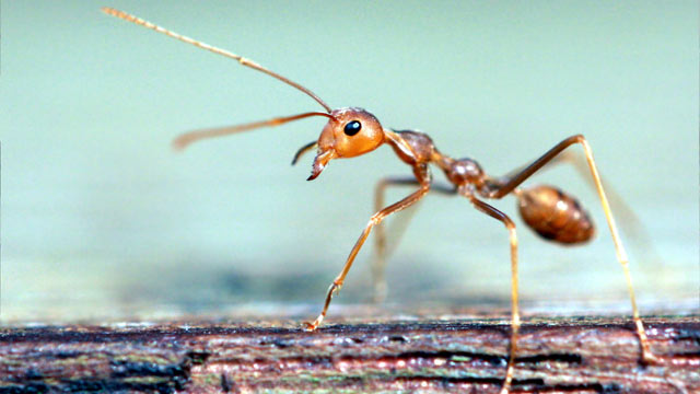 gty_fire_ant_nt_130612_wmain