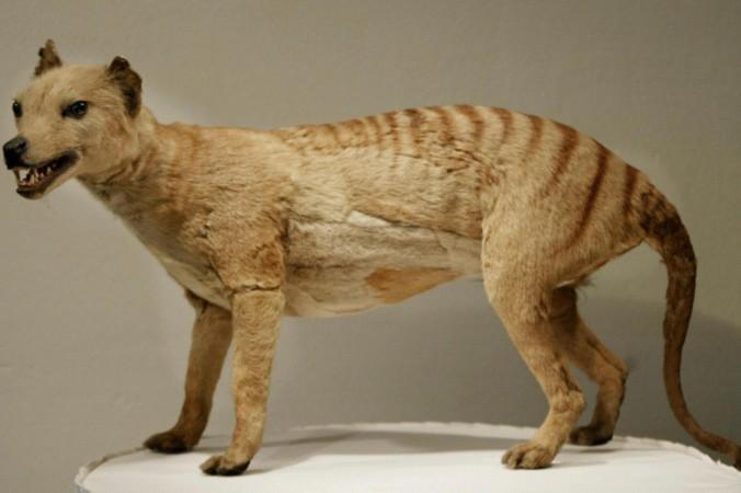 Tasmanian_Tiger-676x450