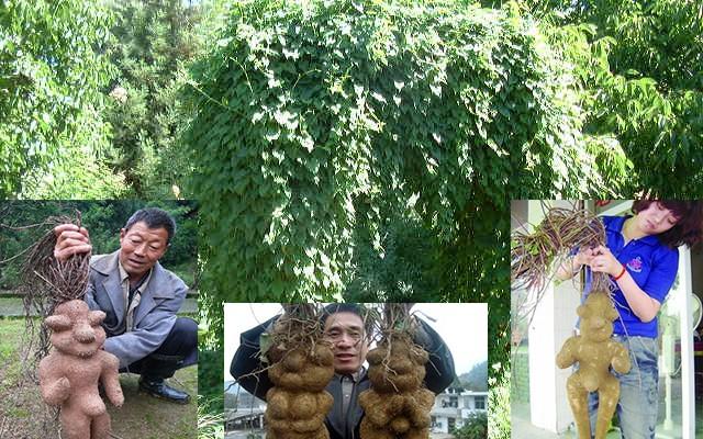 Giàn Hà Thủ Ô (bên trên) và 3 bức hình củ Hà Thủ Ô trên internet (bên dưới)