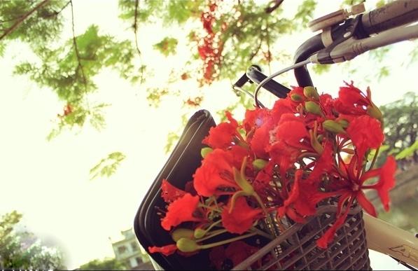 Hoa phượng đỏ gắn liền với thời học sinh với những giỏ xe chở đầy hoa phượng