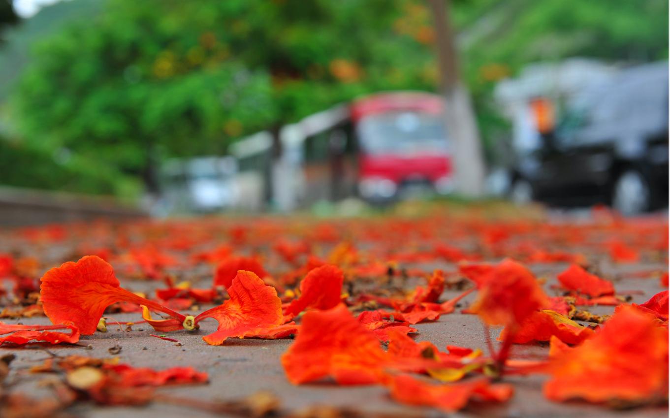 Hoa phượng rụng đỏ khắp sân