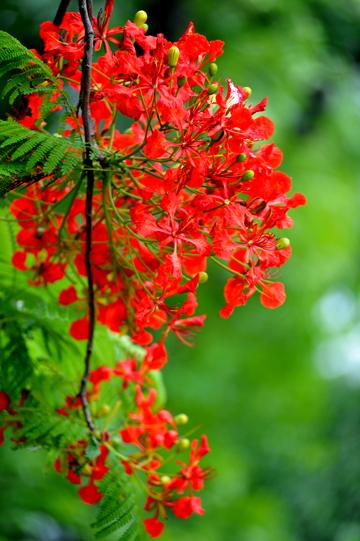 hoa phượng 3