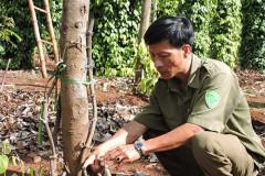 Vườn tiêu của Phó Công an xã Nguyễn Thuận Nam bị chặt phá. Ảnh ĐTK