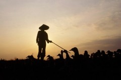 Chăn nuôi theo kiểu gia đình thu nhập thêm  AFP