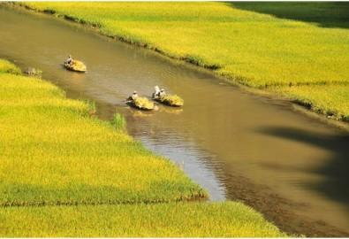 Bốn người bạn sinh cùng năm, lớn lên cùng làng, cùng trải qua nhiều vui buốn tuổi thơ ở Hoa Lư. Ảnh cánh đồng lúa chín ở TranG An (đất Hoa Lư xưa kia. (Ảnh từ internet)