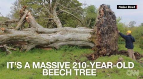 Hài cốt được phát hiện bên trong bộ rễ một cây cổ thụ 215 năm tuổi ở Tây Bắc Ireland. Ảnh: CNN