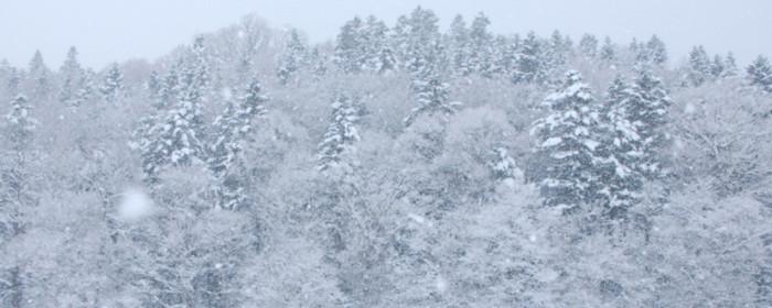 Mùa đông tuyết dày lên tới 5 mét nhưng các loài cây vẫn có thể sinh trưởng tốt