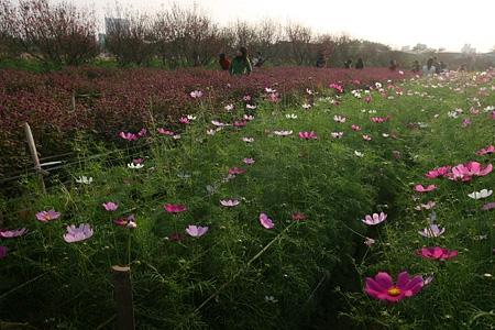 Những luống hoa đua nhau khoe sắc-vườn hoa Nhật Tân. Ảnh ngaynay
