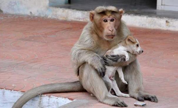 Khỉ mẹ hoang dã cứu và nuôi nấng chú chó con như con ruột.