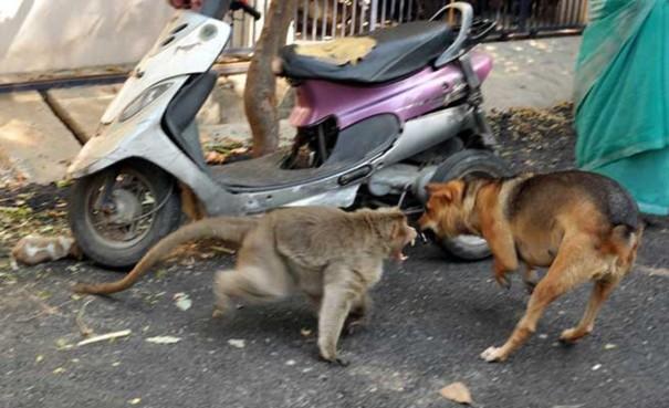 Khỉ mẹ bảo vệ chó con khỏi chó hoang hung dữ.