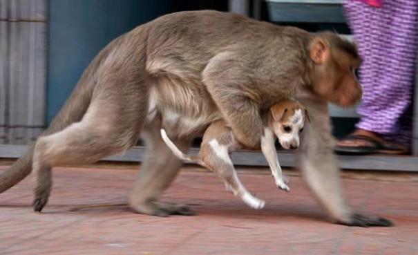 """Cặp đôi ấn tượng khỉ mẹ và chó con """"dính"""" lấy nhau khiến người dân ở thành phố Erode, Ấn Độ vô cùng thích thú và cảm động."""