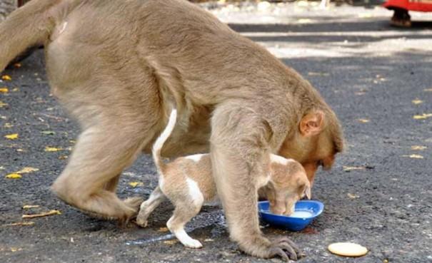 Mọi lúc mọi nơi, khỉ mẹ đều ân cần nhường cho con ăn trước.