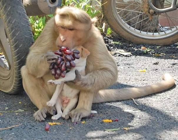 """Người dân địa phương vô cùng """"ấn tượng"""" trước tình cảm mà khỉ hoang dành cho chú chó con mồ côi."""