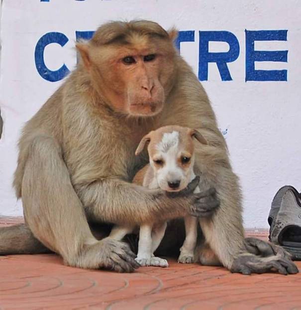Ôm ấp, vỗ về, bảo vệ khỉ mẹ đã minh chứng cho tình mẫu tử thiêng liêng mà nó dành cho đứa con khác loài.