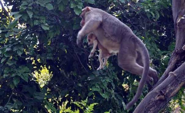 Nó coi con mình như những chú khỉ con cho leo trèo