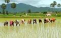 Người Campuchia gieo mạ theo phương cách truyền thống.  Ảnh facebook