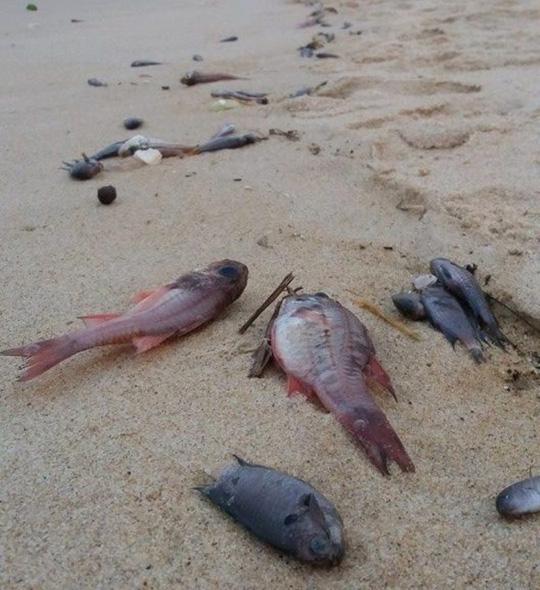 Cá chết hàng loạt được phát hiện tại bờ biển Quảng Bình Ảnh: Hoàng Phúc. Ảnh nld.com.vn
