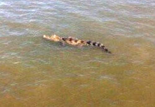 Con cá sâu nổi trên mặt nước ở sông Soài Rạp. Ảnh: An Nam