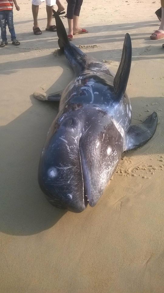 Cá voi vừa chết ở biển miền Trung, nghi do nhiễm độc. Ảnh nld