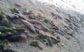 cá chết đảo Thị Tứ