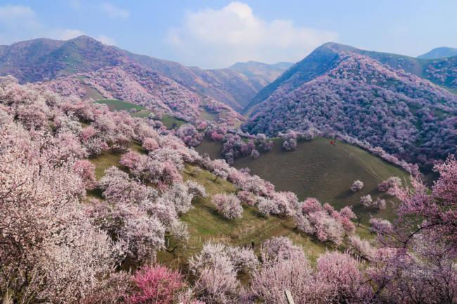 Thung lũng hoa mai hương sắc đẹp đến cạn lời ở Tân Cương - Ảnh 1.