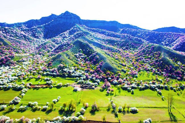 Thung lũng hoa mai hương sắc đẹp đến cạn lời ở Tân Cương - Ảnh 13.