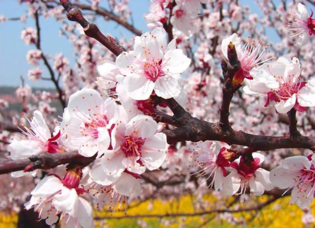 Thung lũng hoa mai hương sắc đẹp đến cạn lời ở Tân Cương - Ảnh 4.