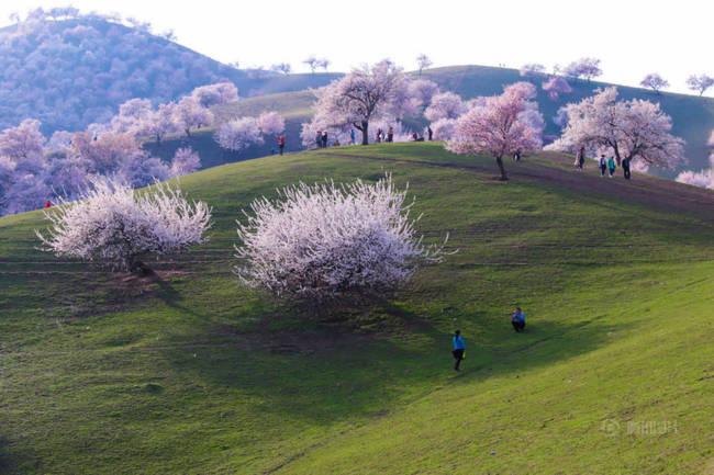 Thung lũng hoa mai hương sắc đẹp đến cạn lời ở Tân Cương - Ảnh 9.