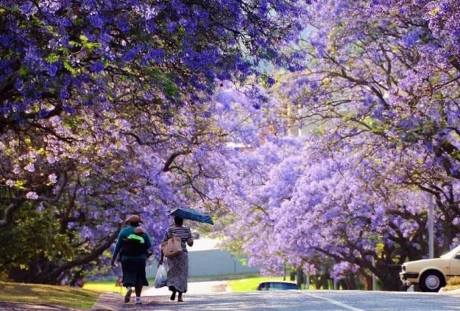 Thiên đường phượng tím giữa lòng Nam Phi