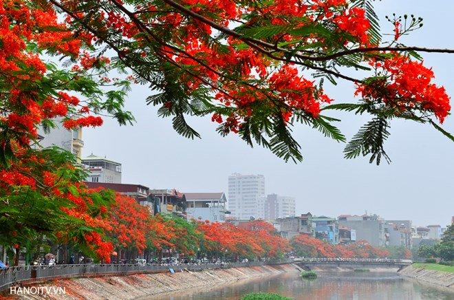 Hai bờ sông Tô Lịch hoa phượng đỏ rực trời, cảnh tượng khiến ai ngang qua cũng phải trầm trồ. Ảnh hanoitv.vn