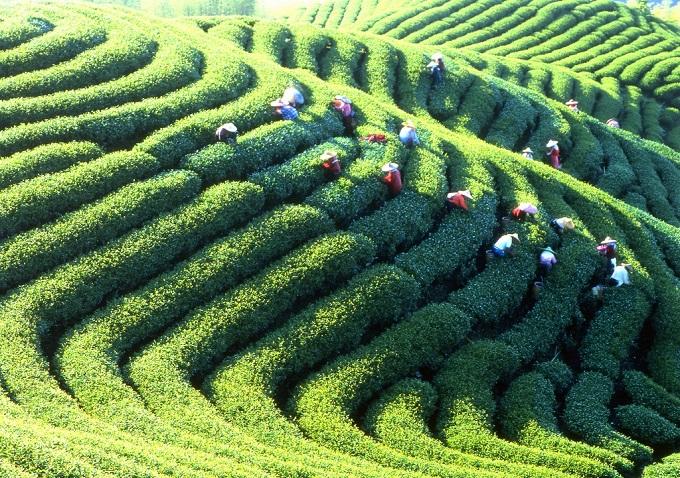 Maokong là vùng trồng trà lớn nhất ở Đài Loan.