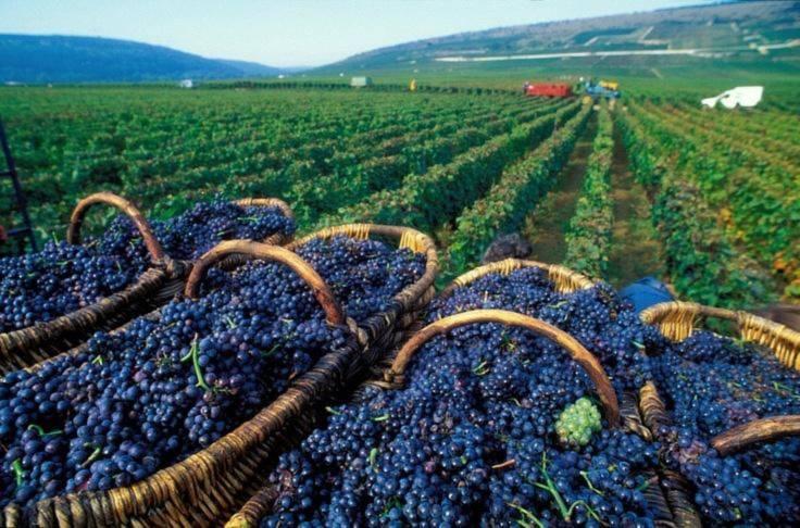 Ngoài vẻ đẹp nên thơ trong kiến trúc và đời sống tinh thần, Colmar còn được biết đến là vùng trồng nho nổi tiếng ở Pháp. Ngôi làng luôn có những tia nắng nhẹ và thời tiết khô ráo, nhờ vậy quá trình chế biến rượu vang cũng thuận lợi hơn hẳn. Ảnh: pinterest.com