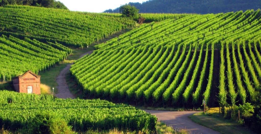 Mỗi năm, người dân Colmar còn tổ chức lễ hội liên quan đến rượu vang này để cùng nhau chia sẻ, nếm thử các loại rượu mới. Ảnh: butterfield.com