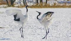 Chim Hạc trắng. Ảnh internet