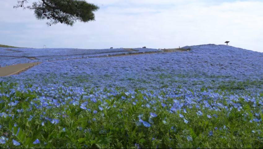 hoa mat xanh 2