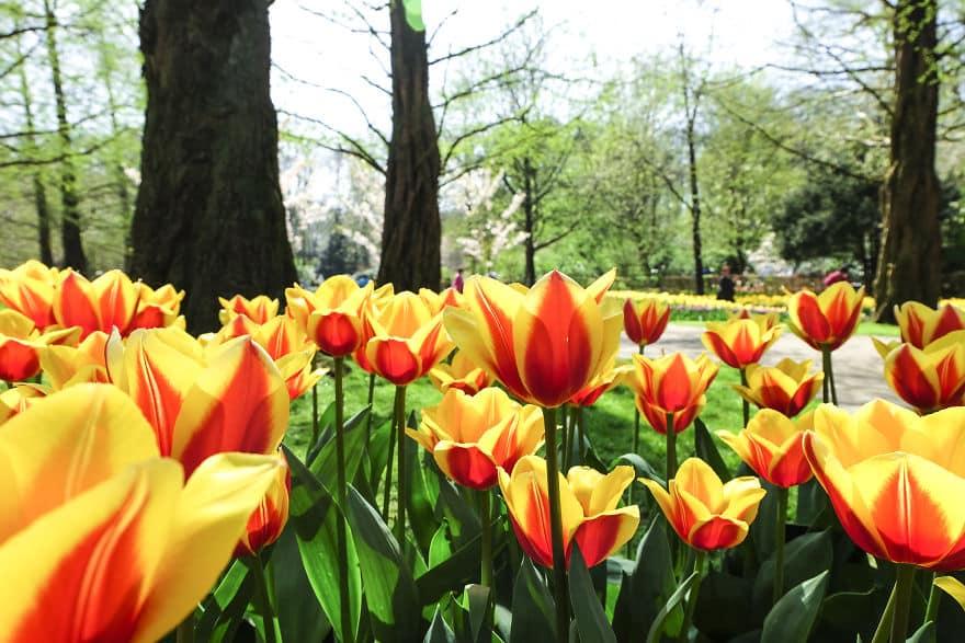 tulip-10