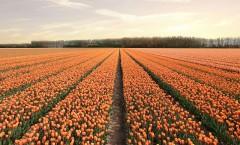 tulip-4