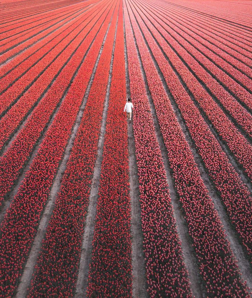 tulip-6