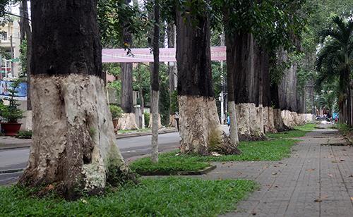 Hàng cổ thụ hơn trăm năm tuổi ở TP Trà Vinh. Ảnh: Cửu Long.